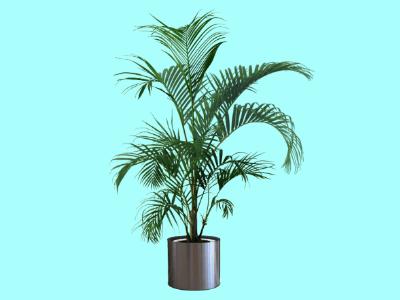 Areca pálma, aranypálma cserepes változat.