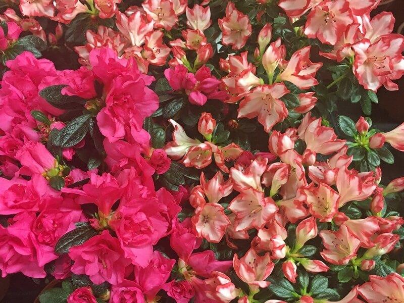 Rhododendron simsii círmos virágai