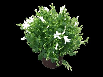 Campanula - harangvirág fehér virággal