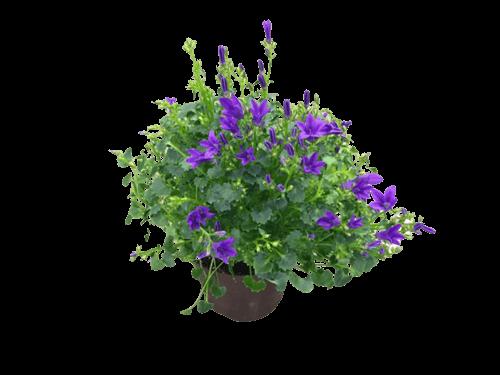 Campanula - harangvirág lila