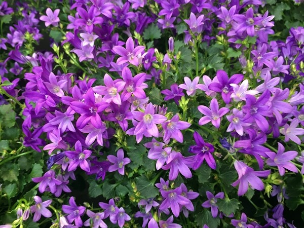 Campanula-harangvirág lila