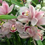 Cymbidium - csónakorchidea csodaszép virágai, szobanövények