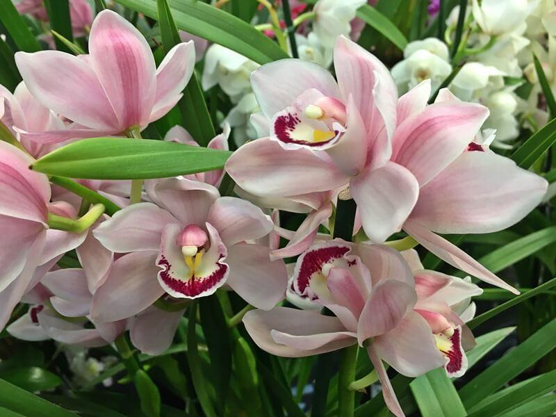 Cymbidium - csónakorchidea csodaszép virágai