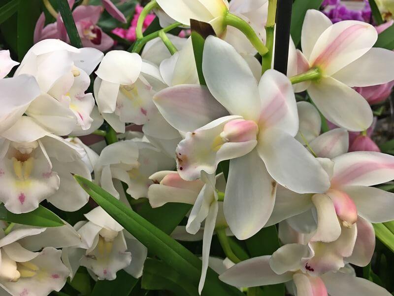Cymbidium - csónak orchidea virágai, gondozása
