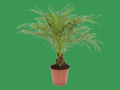 Phoenix pálma, Főnix pálma, Datolyapálma cserépben