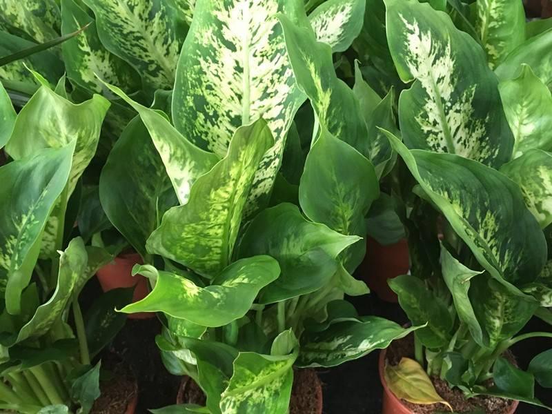 Buzogányvirág - Diffenbachia gondozása, levele