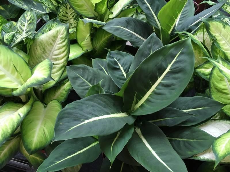 Buzogányvirág - Diffenbachia gondozása, sokféle levele