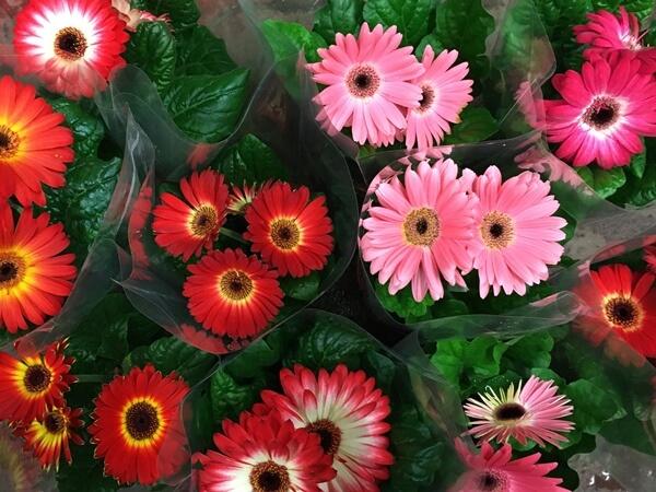Sok színben kapható cserepes növény