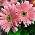 Gerbera rózsaszín virágokkal