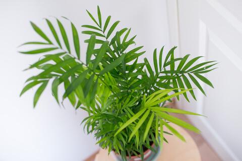 Légtisztító növény: Gyompálma-bambuszpálma