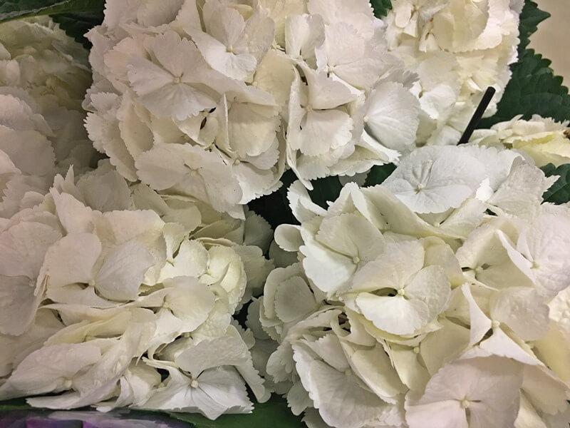 Hydrangea macrophylla gondozása, ápolása fehér virágokkal