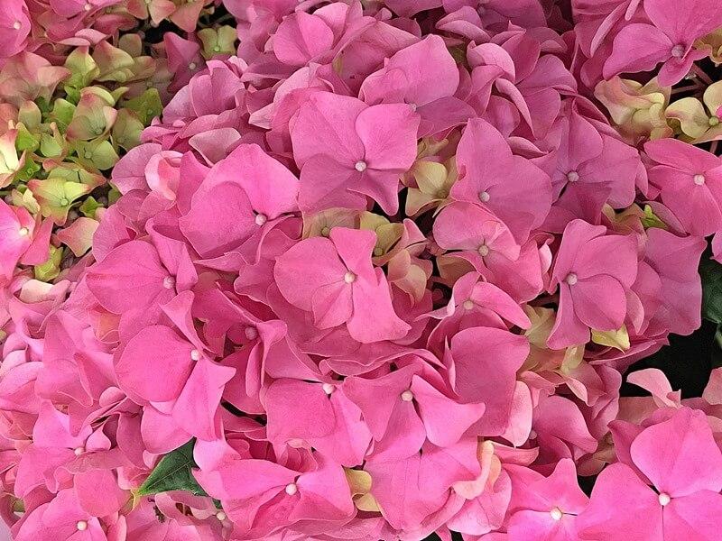 Hortenzia gondozása, ápolása rózsaszín virágokkal - anyák napja virága