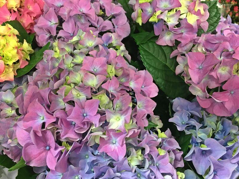 Hortenzia - Hydrangea macrophylla gondozása, ápolása