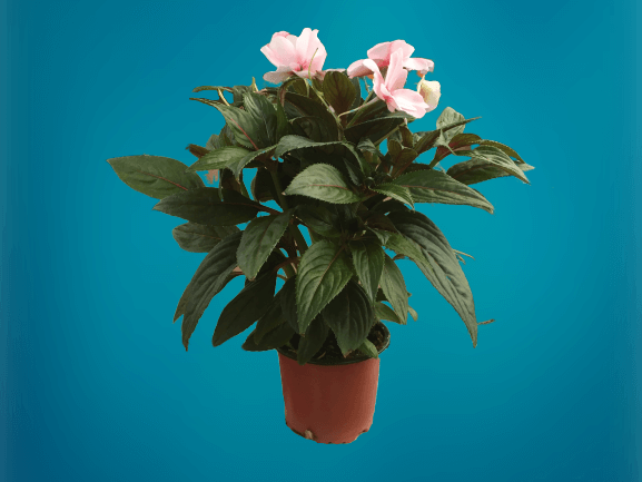 Új-guineai nebáncsvirág, pistike virág