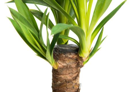 Jukka pálma - Yucca