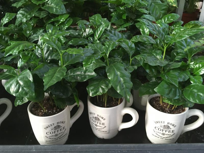 Kávécserje - Coffea arabica gondozása, nevelése