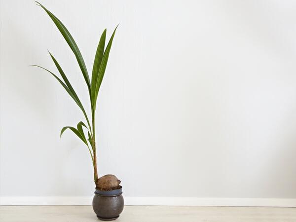 Kókuszpálma - Cocos nucifera
