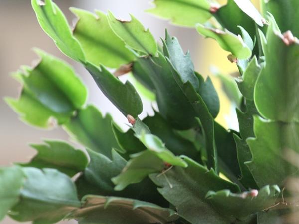 Karácsonyi kaktusz bimbós