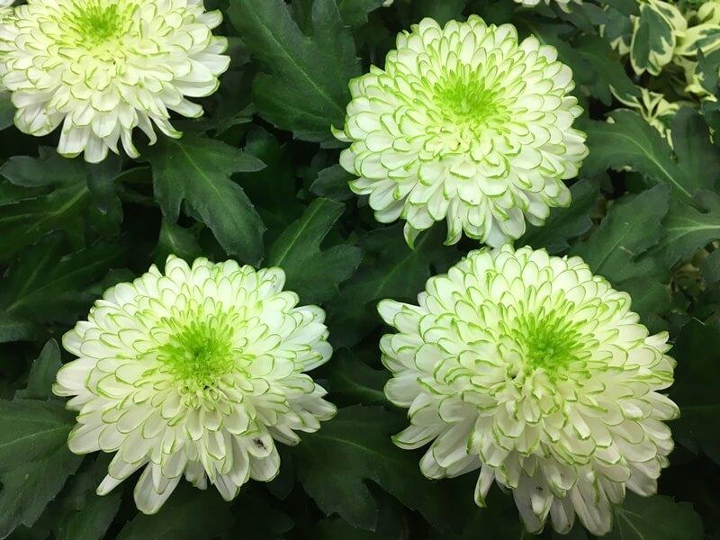 Cserepes krizantém nagyvirágú - fehér színben