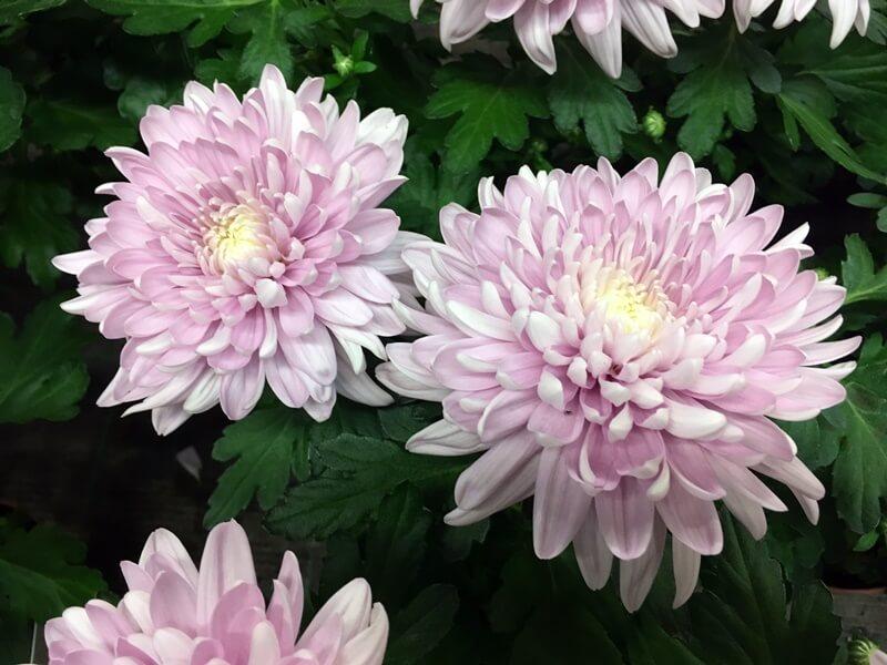 Cserepes krizantém nagyvirágú - rózsaszín színben