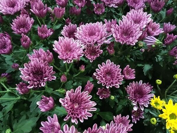 Cserepes krizantém bokor - Chrysanthemum