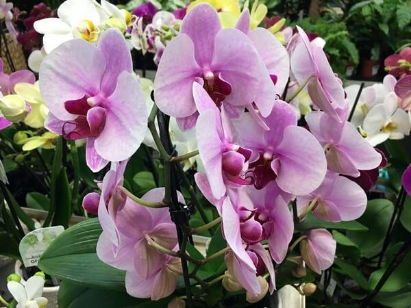 Lepkeorchidea - Phalaenopsis