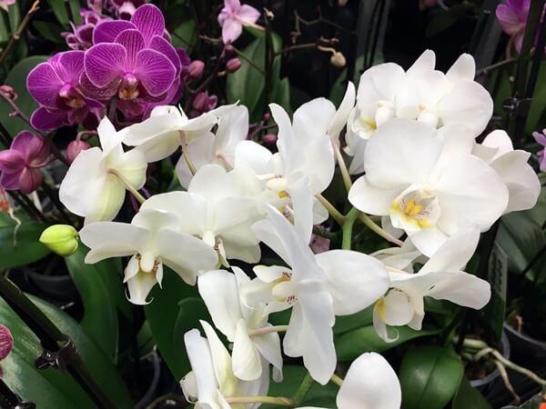 Pillekosbor fehér virággal