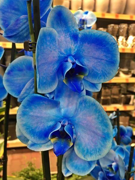 Lepkeorchidea festett kék szirmokkal