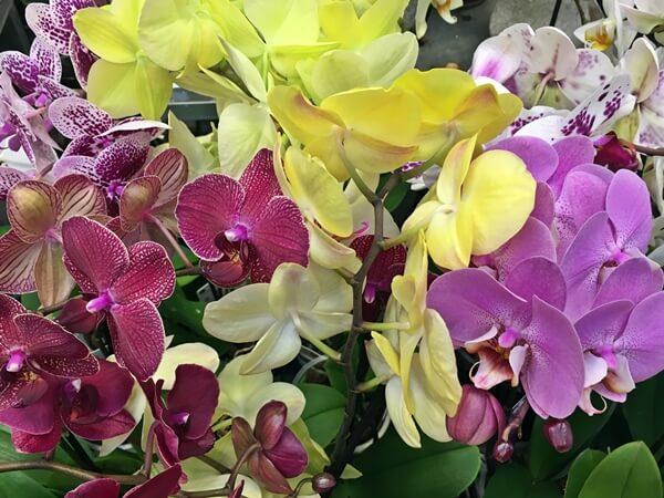 Phalaenopsis orchidea több színben