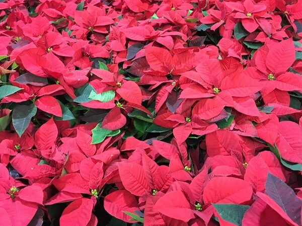 Mikulásvirág piros színű virággal.