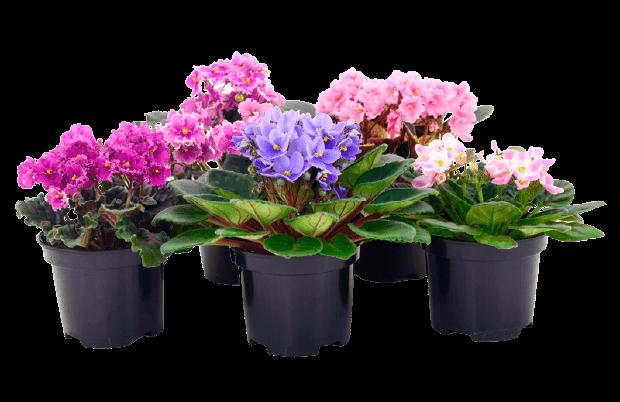 Nőnapi virág fokföldi idolya