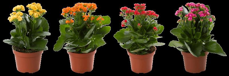 Nőnapi virágok korallvirág