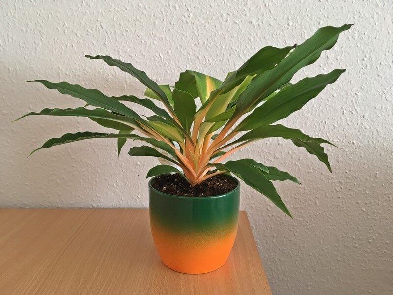 Narancsvulkán vagy Green orange szobanövény