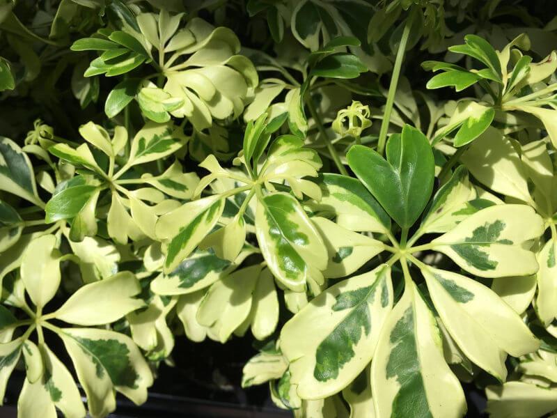 Sugárarália-Schefflera szobanövény