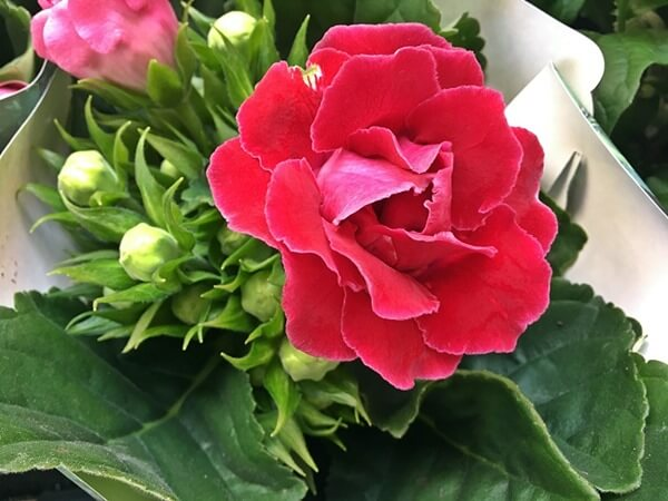 Gloxínia, csuporka piros virággal
