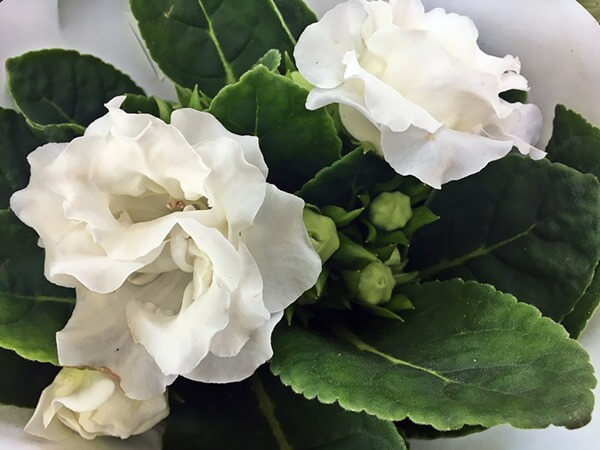 Gloxínia, csuporka fehér virággal