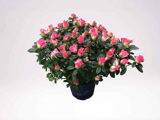 Cserepes szobai azálea rózsaszín