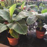 Törpe banán növény - Musa sp.