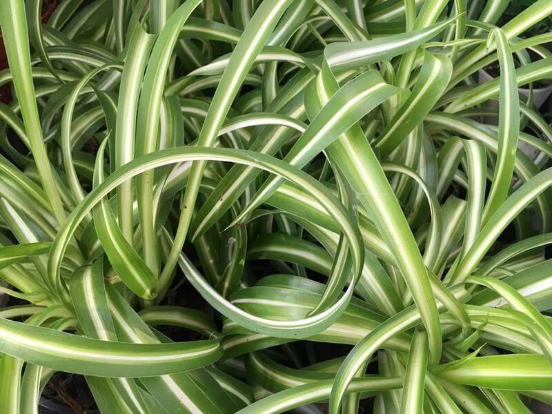 Zöldike - Csüngő csokrosinda - Chlorophytum