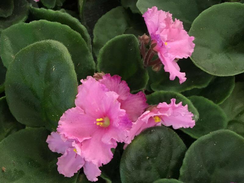 Afrikai ibolya, fokföldi ibolya rózsaszín színben