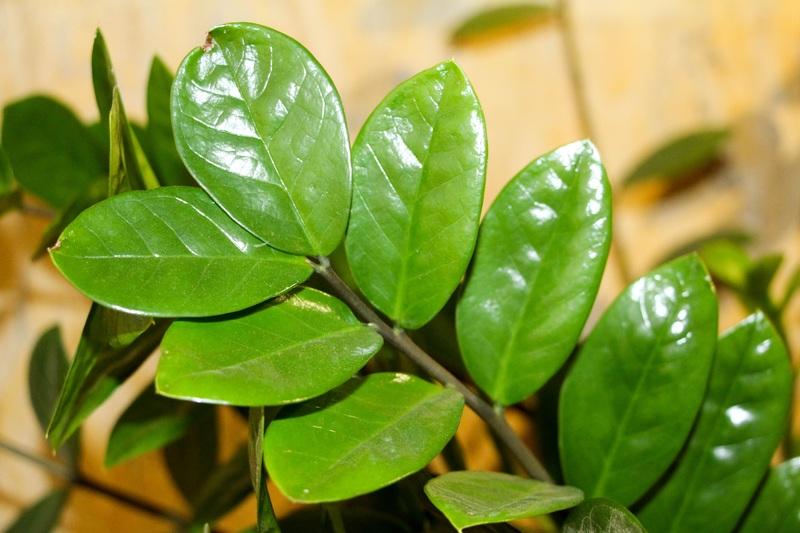 Zamiopálma - Zamioculcas zamiifolia