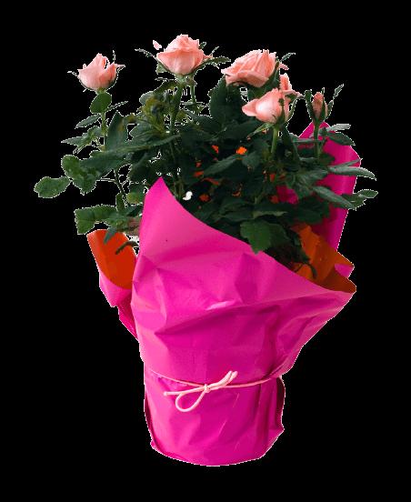 Szobarózsa, mini rózsa