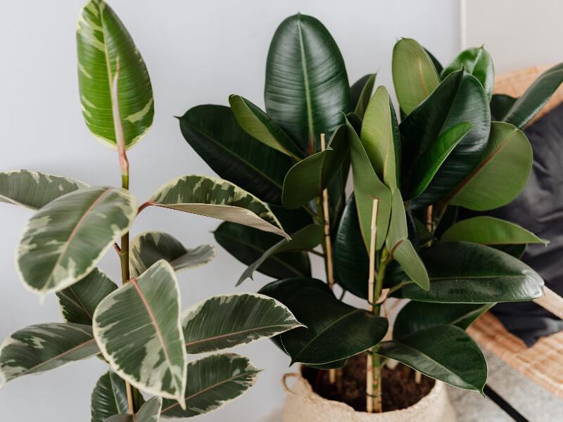 Szobafikusz - Ficus elastica levelei