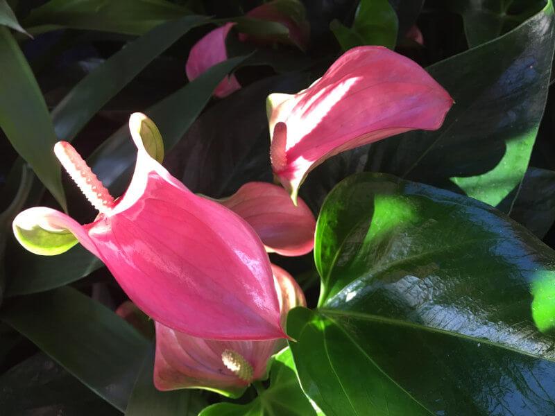 rózsaszín flamingóvirág