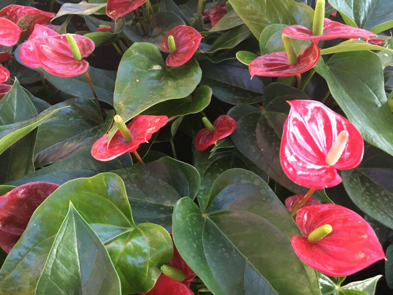 flamingóvirág gondozása, ápolása, színei - viragbarat.hu
